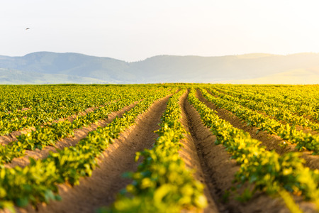 Agricultural field with growing potatoes at sunset Stock fotó