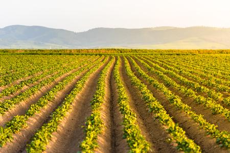 日没でジャガイモの栽培で農業分野 写真素材