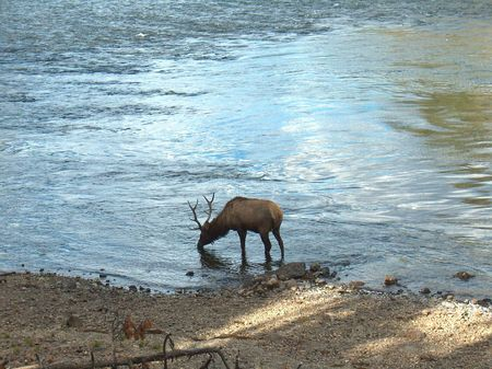 bull elk standing in water and drinking from flowing river Фото со стока