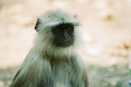 hanuman langur: HANUMAN LANGUR.