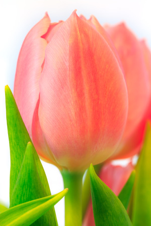 Close-up of pink tulip with green leaves with white background