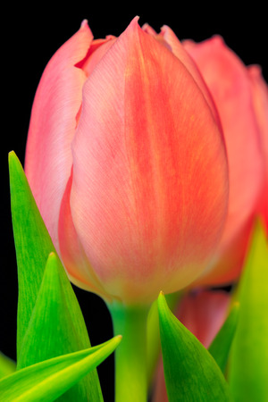 Close-up of pink tulip with green leaves with black background