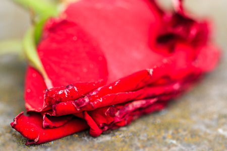 love hurts: Macro close-up of withering dying red rose on ground using selective focus