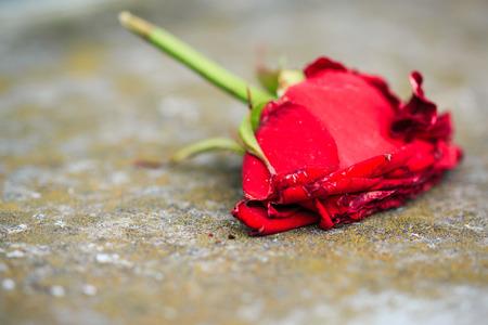 rosas rojas: Primer macro de marchitamiento morir rosa roja en suelo usando el enfoque selectivo