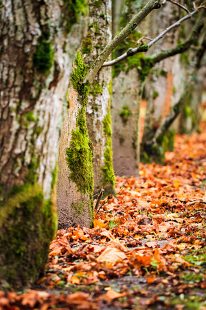 Layered trees with moss using selective focus during autumn with fall colors on ground Stock Photo
