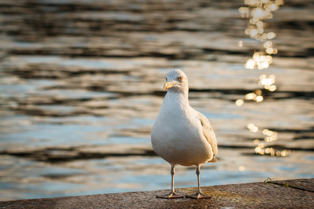 Gull by waters edge in evening light