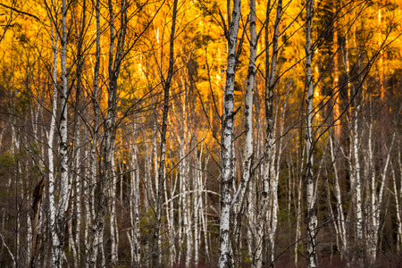 birch trees: Birch trees with selective focus with sunlit foilage in background Birch trees at Tyresta National Park