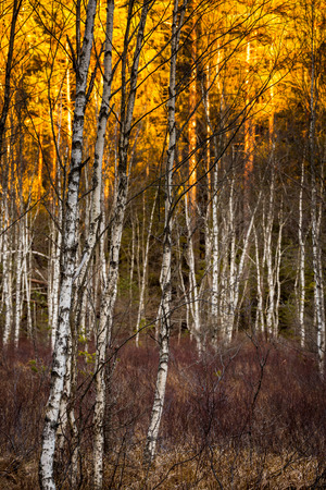 Birch trees with selective focus with sunlit foilage in background Birch trees at Tyresta National Park