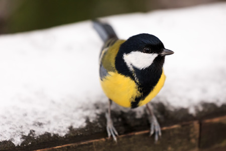Great Tit - Parus major - on rail with snow