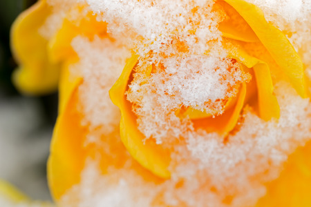 Close-up Macro of snow-covered yellow rose Stock Photo