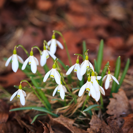 Macro Close-up of snowdrops with selective focus photo