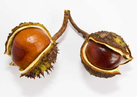 Two conkers (Aesculus hippocastanum). Isolated on a white background. Stock Photo - 11902950