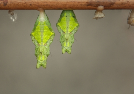 cocoons of butterflies that are soon to be born  photo