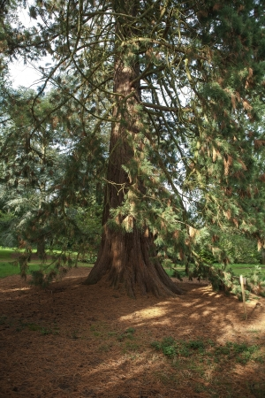 drooping: Tall tree with drooping branches in England Stock Photo
