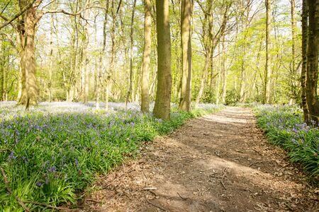 pathway in the woods surround with bluebells in essex england
