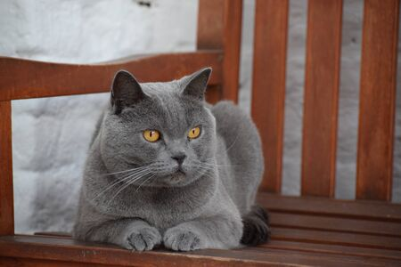 Grey chartreux cat relaxing on a bench in a backyard. Feline with intense orange eyes. Banque d'images - 144234227