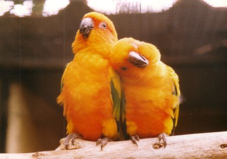 snuggle: Yellow Parakeets on a branch Stock Photo
