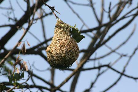 weavers: Masked Weavers nest Stock Photo