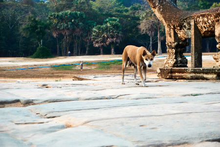 Dog in temple complex Angkor Wat with Reap, Cambodia