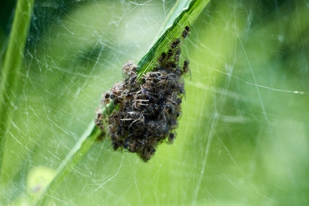 Baby spiders being born. Amazing nature. Spiders spin out. black little spiders