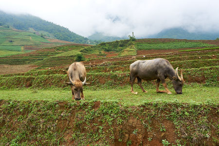 Buffalo eat grass at ricefield in lao chai sapa valey in Vietnam 免版税图像