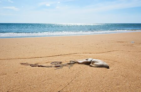 Dead squid laying at the Beach in Tuy hoa Phu yen