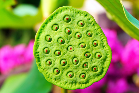 Close-up Image of Exotic Lotus Seeds Stock Photo