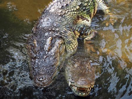 A Closeup Image of Mating Crocodile Stock Photo
