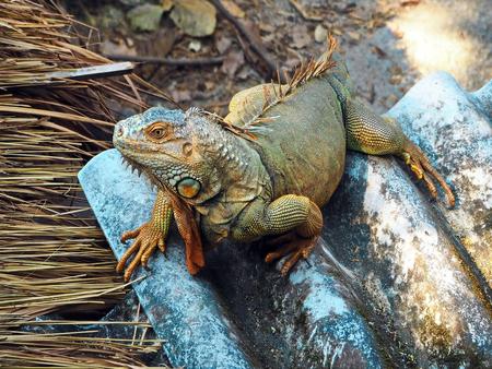 Closeup Image of Green Iguana 스톡 콘텐츠