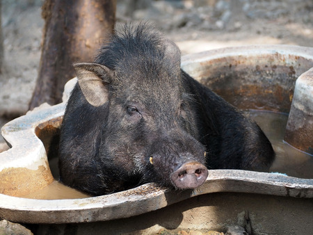 Asian Male Wild Boar Relaxing in the Pool Stock Photo