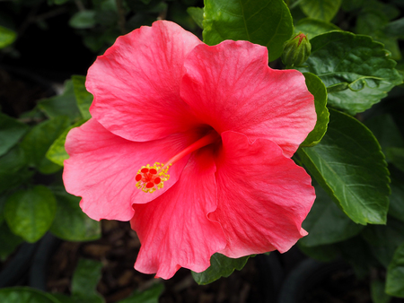 Beautiful Pink Hibiscus Flower Blooming in the Park Imagens