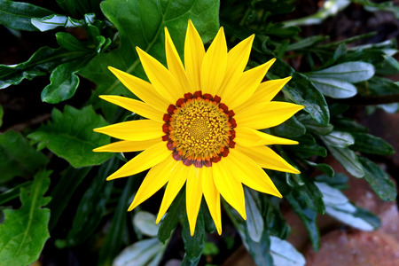 Vibrant Blooming Yellow Flower (Gazania Linearis)