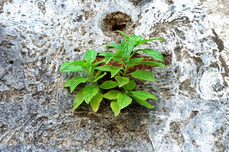 Young Green Plant Growth on the Old Concrete Wall