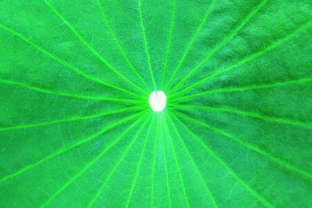 Closeup Photo of Green Lotus Leaf 写真素材 - 143706747