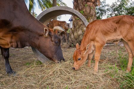A black chesnut coloured calf father and a little cute brown calf standing and eating the grass with oil palm tree on background, family