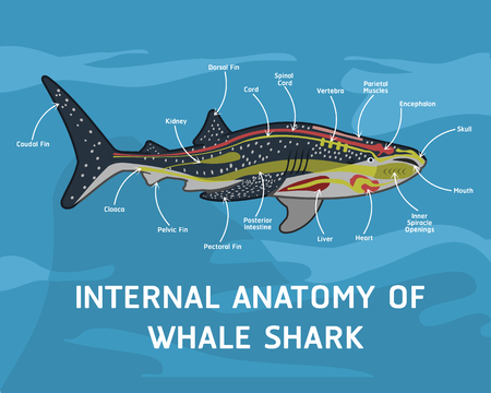 Internal Anatomy Of Whale Shark