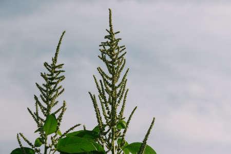 amaranthus: Amaranthus Flower