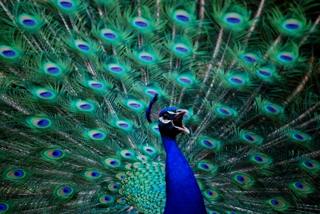 Male peacock with vibrant colors  photo