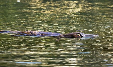 A platypus at the surface of a creek