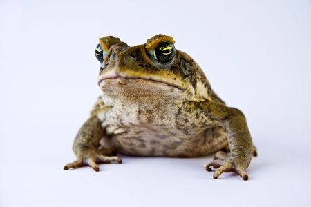 introduced: Cane toad (Bufos marinus) closeup and isolated over white Stock Photo