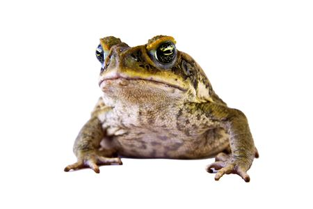Cane toad (Bufo marinus) closeup and isolated over white Stock Photo - 7005445