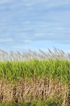 A lovely shot of a sugar cane field in bloom Stock Photo - 7059928