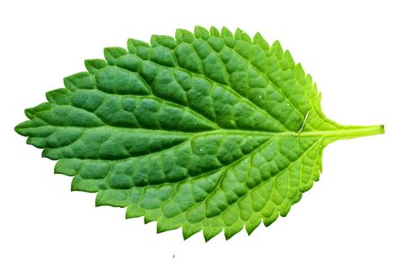 A beautiful lush green leaf. Isolated over white. Stock Photo - 7196004