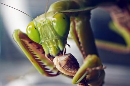 A macro shot of an Australian Praying Mantis eating a cricket photo