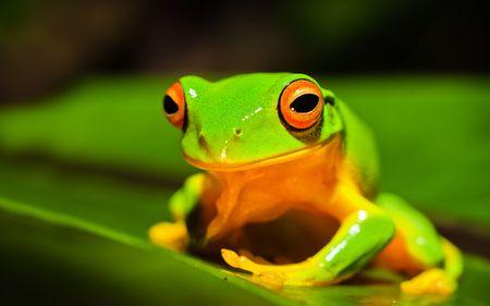 Un colpo di macro di una bella Orange thighed che, Litoria xanthomera, seduta su una foglia.