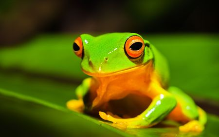 Une photo macro d'une belle orange thighed Treefrog, Litoria xanthomera, assis sur une feuille.