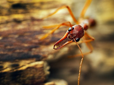 A giant bulldog ant (Myrmecia brevinoda) from the tropical rainforest of Australia. One of the biggest ants in the world