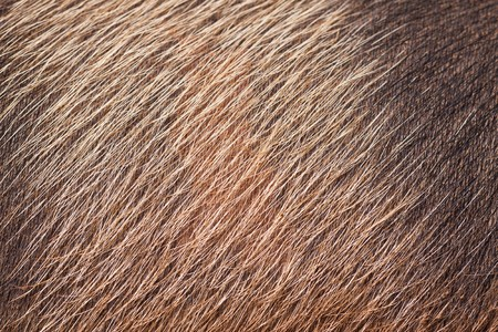 A closeup of wild pig skin and fur. Good  background or texture photo