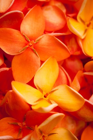 florescence: A beautiful macro shot of colorful and vibrant Jungle flame or Ixora flowers