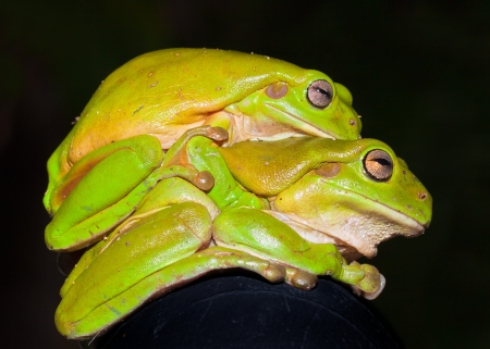 animal mating: Side view of two green tree frogs (Litoria caerulea) mating